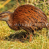 11001-48801 Western weka (Gallirallus australis australis) male of the typical 'chestnut' morph, in poa grass clearing. Newton Creek, West Coast *