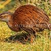 11001-48801 Western weka (Gallirallus australis australis) male on West Coast