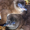 11001-27717 Little blue penguin (Eudyptula minor) a pair of large downy chicks in nest. Green Island