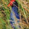 11001-50703  Pukeko (Porphyrio melanotus melanotus) head in swamp. Western Springs, Auckland *