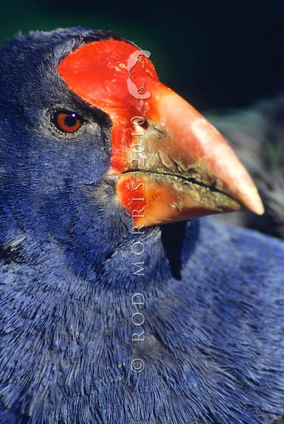 11001-52214 Takahe (Porphyrio hochstetteri) head of male *