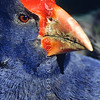 11001-52214 Takahe (Porphyrio hochstetteri) head of male *