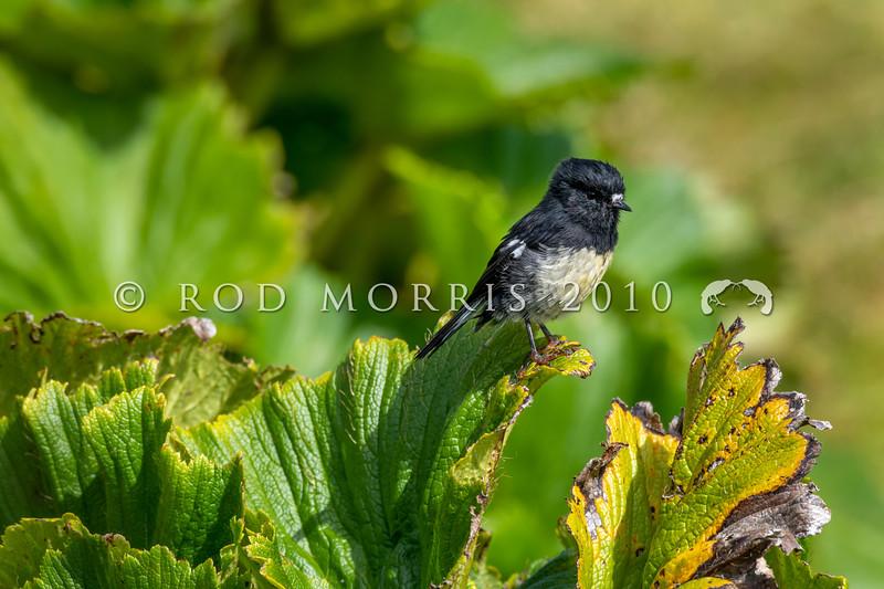 DSC_2199 Auckland Island tomtit (Petroica macrocephala  marrineri) male perched on punui (Stilbocarpa polaris) leaf. Enderby Island, Aucklands Group *