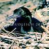 11001-34004 Little black shag (Phalacrocorax sulcirostris) adult incubating eggs on nest. Lake Rotorua