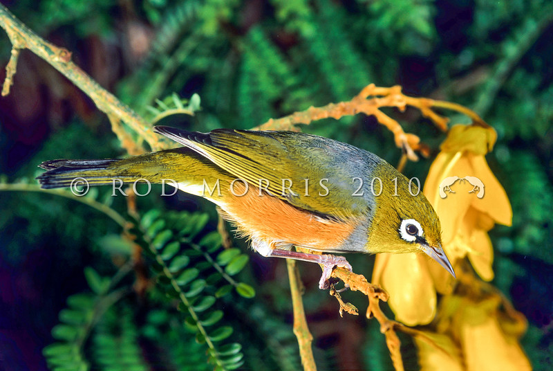 11001-83116  Silvereye (Zosterops lateralis lateralis) feeding on kowhai nectar. First recorded here in 1832, and recorded breeding in 1856, the silvereye is now abundant throughout New Zealand. This subspecies hails from southeastern Australia and Tasmania *