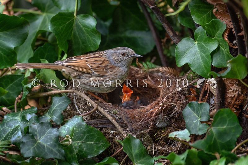 DSC_5890 Dunnock or Hedge sparrow (Prunella modularis) male at nest in common ivy (Hedera helix). The nest contains a brood of three chicks at 4 days old.This inconspicuous little introduced bird is common in gardens in the South Island, but in the North Island, it is rare north of the Waikato. Otago Peninsula *