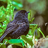 11001-82007 Black robin, or kakaruia (Petroica traversi) originally known as the 'south east' female when this photo was taken on Little Mangere Island in 1975, 'old blue' became the most famous of all black robins following the rescue in September 1976 *