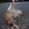 IMG_0624  Great spotted kiwi (Apteryx haastii) road kill at Arthurs Pass *