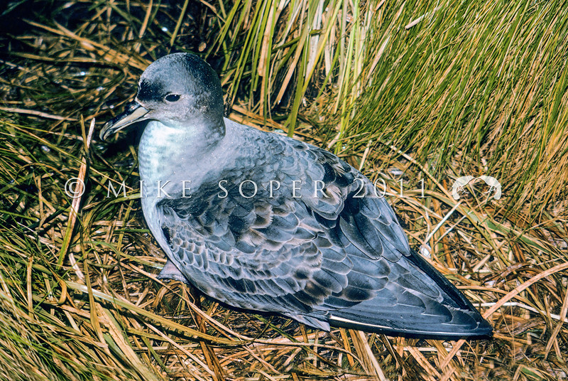 11001-21819 Grey petrel (Procellaria cinerea) adult in tussock. Antipodes Island *