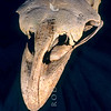11001-00904 South Island giant moa (Dinornis robustus) skull of giant extinct flightless bird once widespread across the South Island of New Zealand. Giant moa may have been the tallest bird that ever lived, with some large females standing perhaps 3.6 m (12 ft) tall, and weighing an estimated 230–240 kg (510–530 lb) *