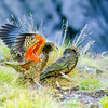 11001-72603 Kea or mountain parrot (Nestor notabilis) young birds 'chasing' each other in play. Upper Kowhai Stream, Seaward Kaikoura Range *
