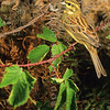 11001-85101  Cirl bunting (Emberiza cirlus) portrait of male in hedgerow. This easily overlooked bird is the rarest, and most restricted of our introduced passerines. Oamaru *
