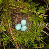 DSC_0434  Silvereye (Zosterops lateralis lateralis) small, tidy mossy nest in a damp site, containing typical three egg clutch (2-4 eggs) in Coprosma areolata. First recorded here in 1832, and recorded breeding in 1856, the silvereye is now abundant throughout New Zealand. This subspecies hails from southeastern Australia and Tasmania. Sullivans Dam, Leith Valley *