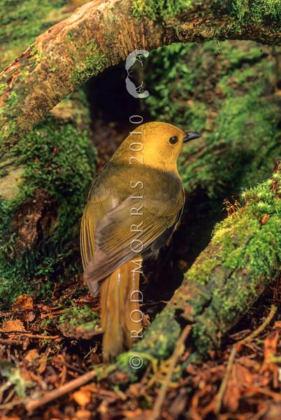 11001-80423 Yellowhead, or mohua (Mohoua ochrocephala) male on beech trunk. Catlins forest.