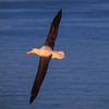 11001-08114 Northern Royal albatross (Diomedea sanfordi) soaring off coast at sunset. Taiaroa Head, Otago Peninsula *