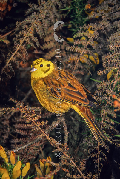 11001-84901  Yellowhammer (Emberiza citrinella) portrait of male in hedgerow.Yelllowhammers are more abundant here, than in parts of Europe, where they are now in serious decline.