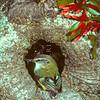 11001-77501  South Island rifleman (Acantisitta chloris chloris) male at nest hole beneath Red mistletoe (Peraxilla tetrapetala). Lake Ohau *