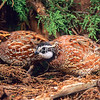 11001-46703  Bobwhite (Colinus virginianus taylori) two males beneath a macrocarpa hedge. Bobwhite introductions have been largely unsuccessful in New Zealand. Tiny populations are still augmented with releases of hand reared birds by enthusiastic aviculturalists, and a few birds  may persist in South Auckland, Northern Hawkes Bay, and perhaps near Timaru *