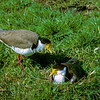 11001-56817 Masked lapwing (Vanellus miles novaehollandiae) pair nesting in paddock *