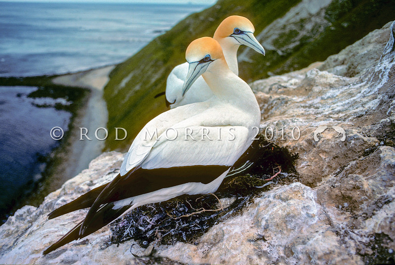11001-31813 Australasian gannet (Morus serrator) pair at nest. Cape Kidnappers, Hawkes Bay *
