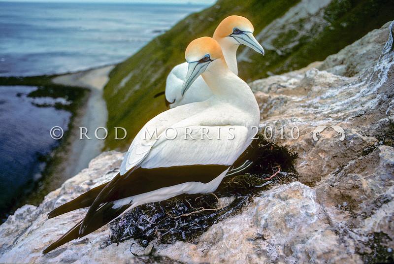 11001-31813 Australasian gannet (Morus serrator) pair at nest