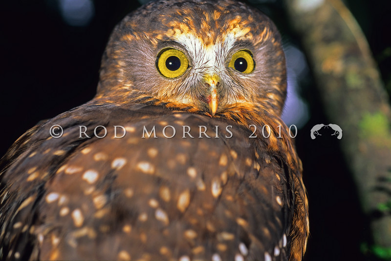 11001-75911 Morepork (Ninox novaeseelandiae novaeseelandiae) close-up of face. Rangataua Forest *