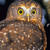 11001-75911 Morepork (Ninox novaeseelandiae novaeseelandiae) close-up of face