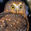 11001-75911 Morepork (Ninox novaeseelandiae novaeseelandiae) close-up of face