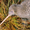 11001-05207 Great spotted kiwi (Apteryx haastii) close-up head of female foraging in tussock. Northwest Nelson *
