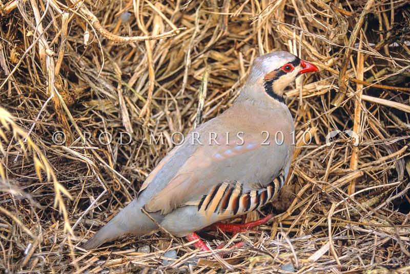 11001-46901 Chukor (Alectoris chukar) an introduced game bird of the higher, drier areas of Marlborough, Canterbury and Central Otago.