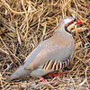 11001-46901 Chukor (Alectoris chukar) an introduced game bird of the higher, drier areas of Marlborough, Canterbury and Central Otago.