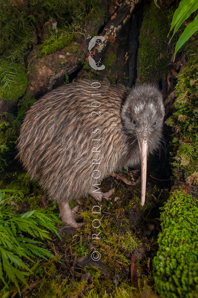 DSC_1918 Okarito brown kiwi, or rowi (Apteryx rowi) portrait of male *