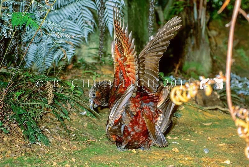 11001-71513 North Island kaka (Nestor meridionalis septentrionalis) pair mating. *