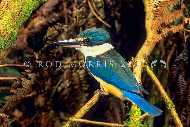 11001-77207 New Zealand kingfisher (Todiramphus sanctus vagans) male outside nest. Rotorua *