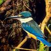 11001-77207 New Zealand kingfisher (Todiramphus sanctus vagans) male outside nest