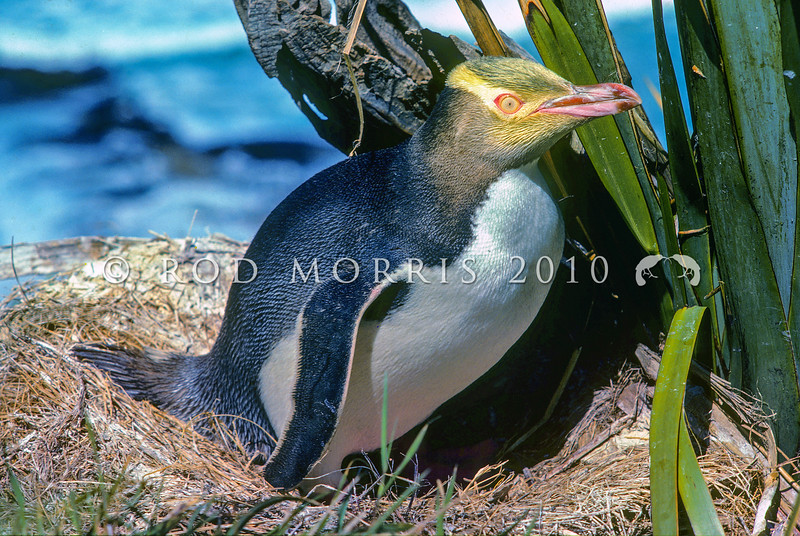 11001-25317 Yellow-eyed penguin (Megadyptes antipodes) at nest on coast. Waterfall Bay, Otago Peninsula *