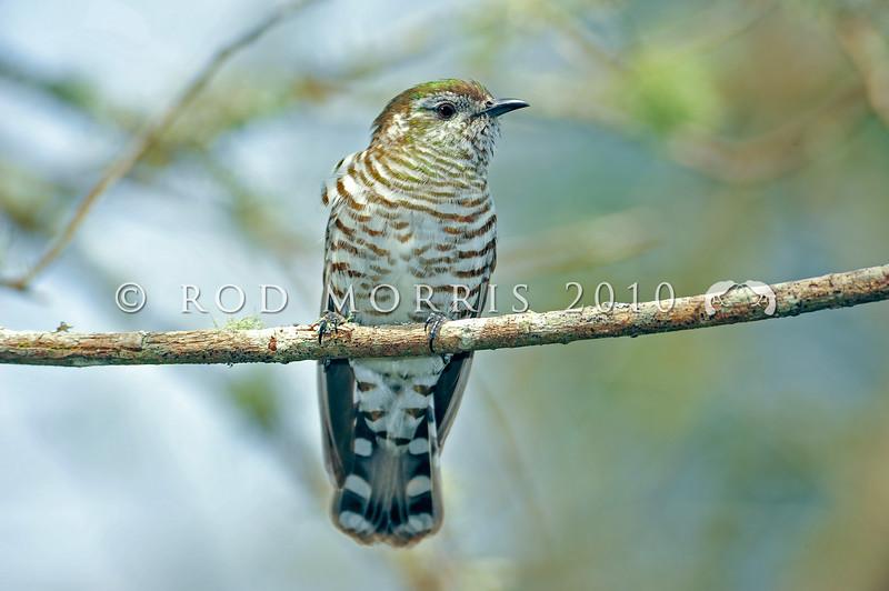 DSC_4711 Shining bronze-cuckoo (Chrysococcyx lucidus lucidus) adult female shortly after returning in spring. Rotorua *