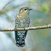 DSC_4711 Shining bronze-cuckoo (Chrysococcyx lucidus lucidus) adult female shortly after returning in spring. Rotorua