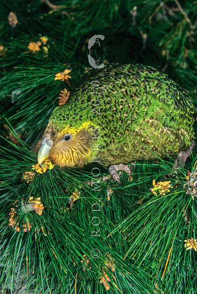 11001-70907  Kakapo (Strigops habroptilus) young male 'Trevor' feeding on developing pinus cones on Maud Island in August 1997.