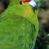 11001-74702 Yellow-crowned parakeet (Cyanoramphus auriceps) portrait of male