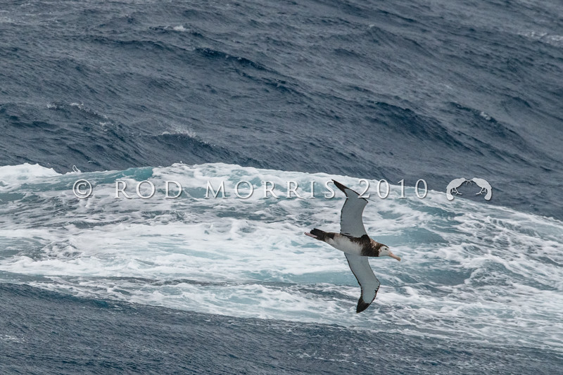 DSC_2774 Antipodean albatross (Diomedea antipodensis antipodensis) dark phase adult female soaring over southern ocean near Antipodes Island. Numbers of this threatened species were improving through the 1990s, however since 2004 there has been a rapid and dramatic decline of female birds of 11% a year. Antipodes Island