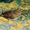 11001-57101 Snares Island snipe (Coenocorypha huegeli) adult on lichen covered rock after dark. Snares Island *