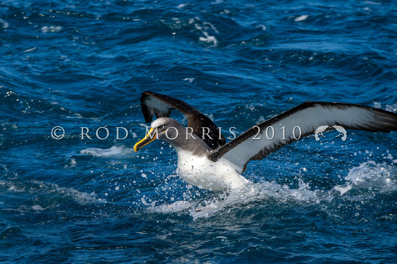 DSC_3012 Northern Buller's albatross (Thalassarche bulleri platei) adult taking off from the sea near Pyramid Rock, Chatham Islands *