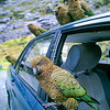 11001-72707 Kea or mountain parrot (Nestor notabilis) band of birds perched on a parked car at tourist lookout. Homer Cirque, Fiordland *