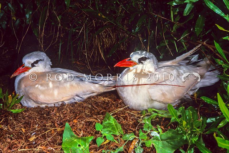 11701-31001  Red-tailed tropicbird (Phaethon rubricauda) pair on breeding ledge