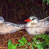 11701-31001  Red-tailed tropicbird (Phaethon rubricauda) pair on breeding ledge *
