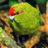 11001-73506 Red-crowned parakeet (Cyanoramphus novaezelandiae novaezelandiae) male foraging on forest floor