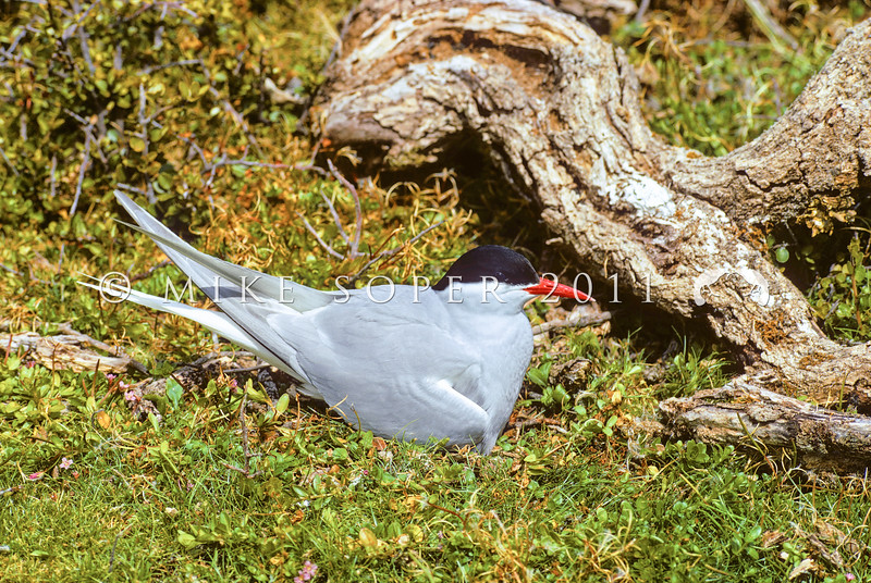 11001-66507 NZ Antarctic tern (Sterna vittata bethunei) adult on nest, Auckland Island *