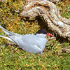 11001-66507 NZ Antarctic tern (Sterna vittata bethunei) adult on nest, Auckland Island