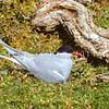 11001-66507 NZ Antarctic tern (Sterna vittata bethunei) adult on nest, Auckland Island *